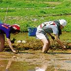 棚田で田植え体験